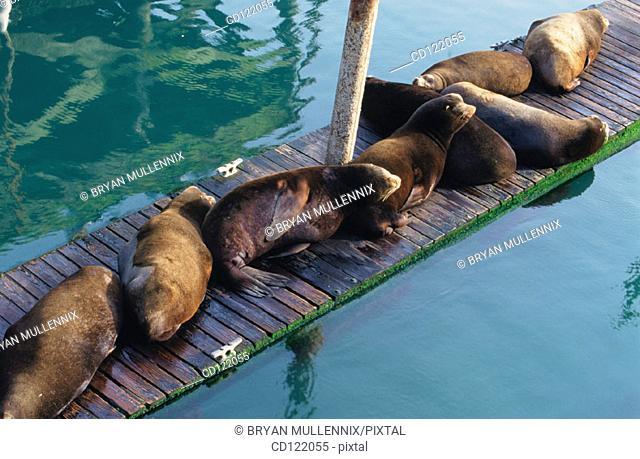 Sea Lions on boat dock. Newport Bay. Oregon. USA