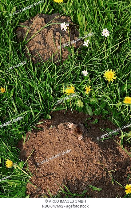 European Mole, North Rhine-Westphalia, Germany / Talpa europaea / mole hill