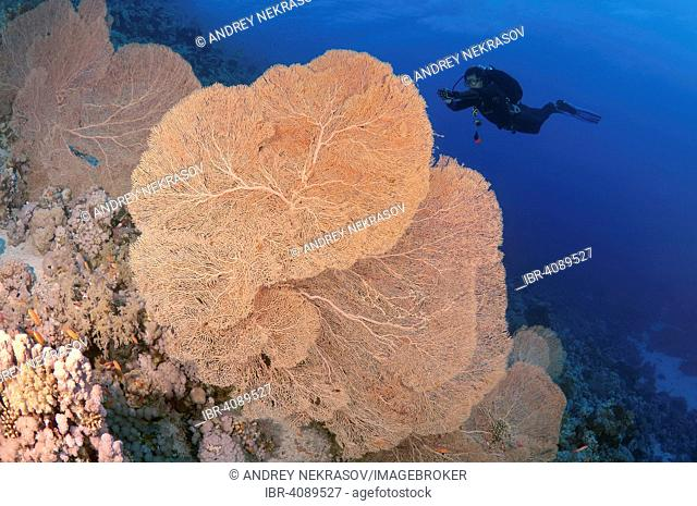 Diver looking at Venus Sea Fan (Gorgonia flabellum), Ras Muhammad National Park, Sinai, Red sea, Egypt