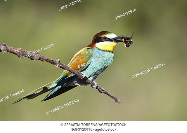 European bee-eater (Merops apiaster) with prey, Santa Margalida, Majorca, Balearic Islands, Spain