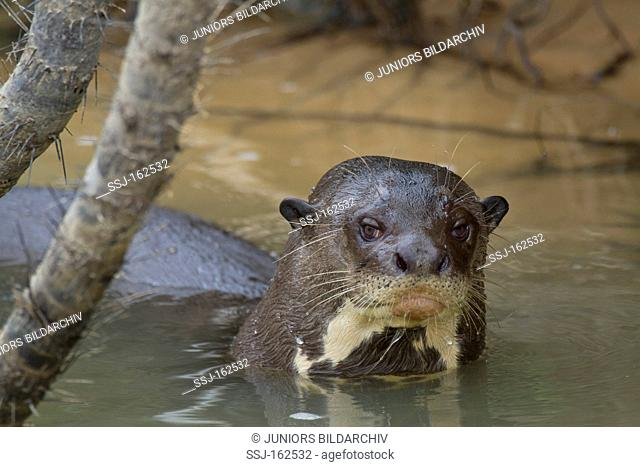 Giant Otter in water / Pteronura brasiliensis