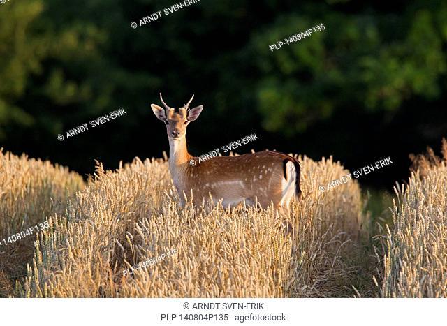 Fallow deer (Dama dama) young buck in wheat field in summer