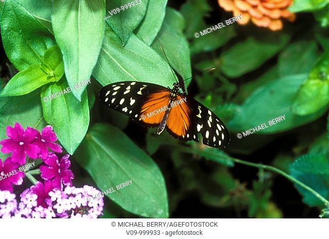 Golden Hellion Butterfly
