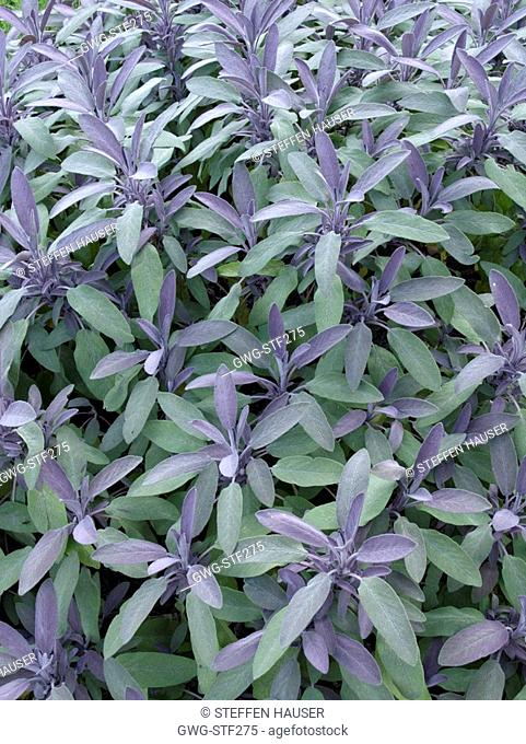 SALVIA OFFICINALIS 'PURPURASCENS' COMMON SAGE