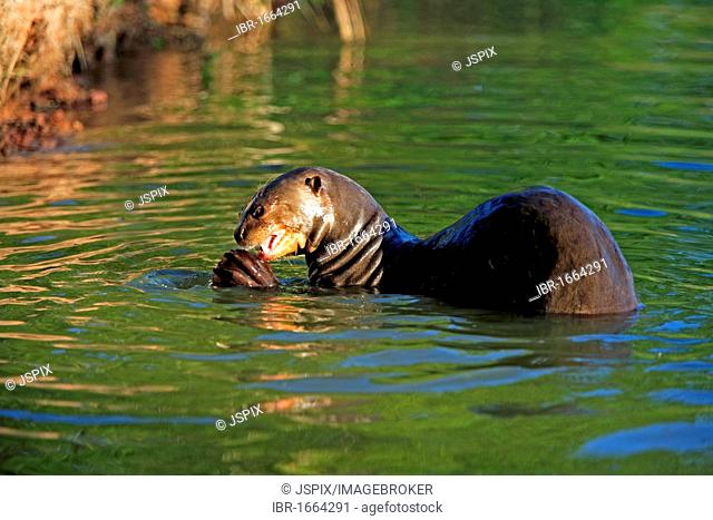 Giant Otter (Pteronura brasiliensis), adult, in the water eating fish prey, Pantanal, Brazil, South America