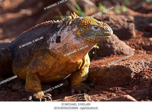 The very colorful Galapagos land iguana Conolophus subcristatus in the Galapagos Island Archipeligo, Ecuador MORE INFO: This large land iguana is endemic to the...