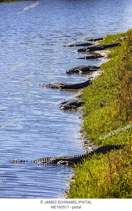Alligators on bank of Myakka River in Myakka River State Pak in Sarsaota Florida in the United States
