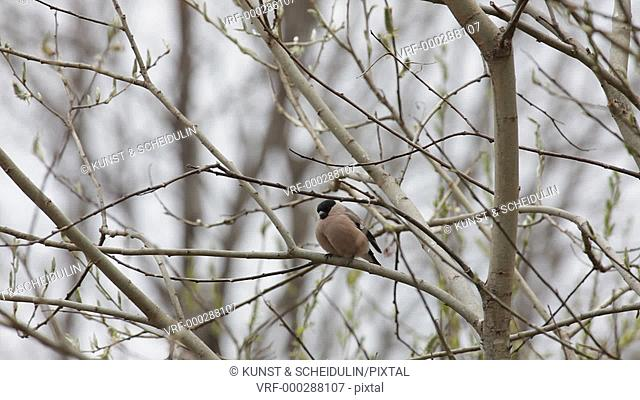 An Eurasian bullfinch (Pyrrhula pyrrhula) is sitting on a twig in spring, Noraström, Västernorrlands Län, Sweden