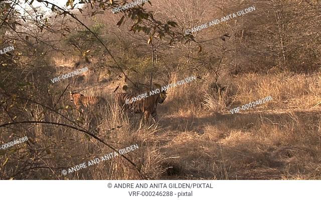 Bengal Tiger (Panthera tigris tigris) female seduces male, Ranthambhore N.P. India