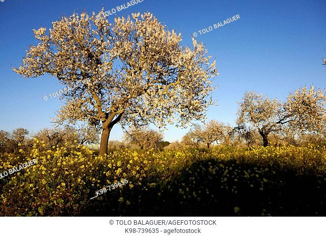 Almond trees in bloom, Capocorb Vell, Llucmajor. Majorca, Balearic Islands, Spain