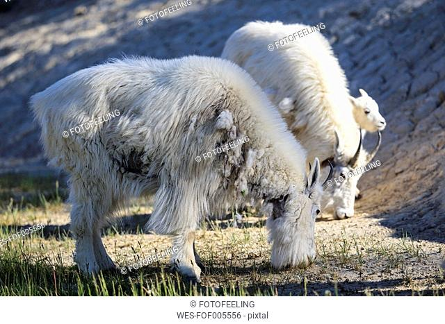 Canada, Alberta, Rocky Mountains, Jasper National Park, Banff Nationalpark, three mountain goats (Oreamnos americanus) grazing
