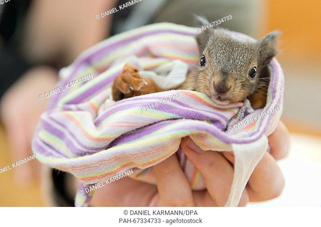 Kerstin Kaden feeds a 10-week old squirrel in Dinkelsbuehl, Germany, 31 March 2016. The 48-year old woman, her daughter and a network of helpers care for about...