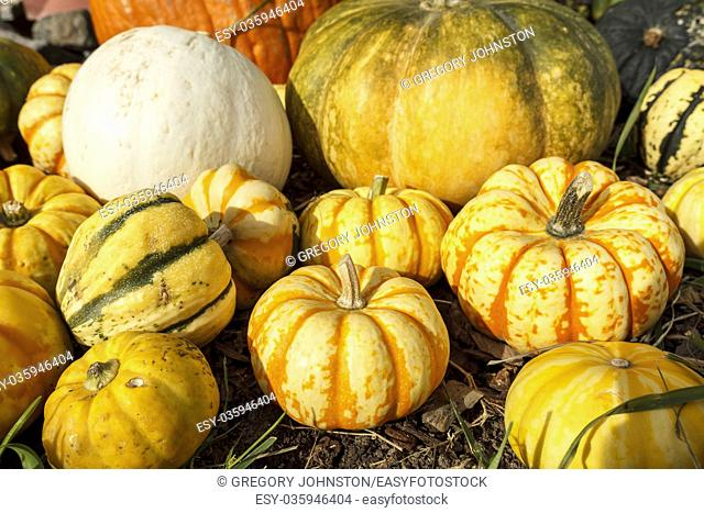 A group of pumpkins and gourds together in a display during October