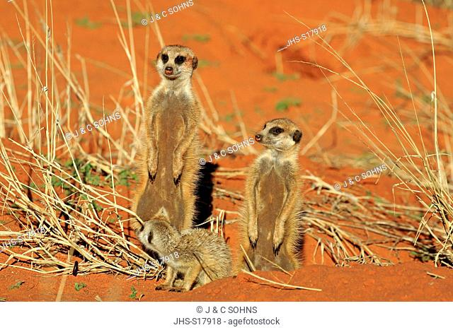 Suricate, (Suricata suricatta), group with young warming up at den in morning, Tswalu Game Reserve, Kalahari, Northern Cape, South Africa, Africa