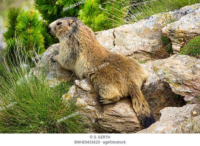 alpine marmot (Marmota marmota), sunbaths on a rock, Switzerland, Valais