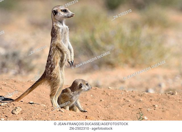 Meerkats (Suricata suricatta), adult male upstanding, attentive, with a baby, at the burrow entrance, Kgalagadi Transfrontier Park, Northern Cape, South Africa
