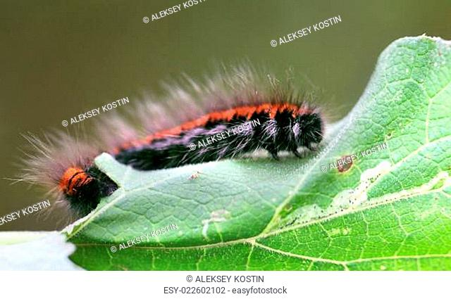 Large black and red caterpillar