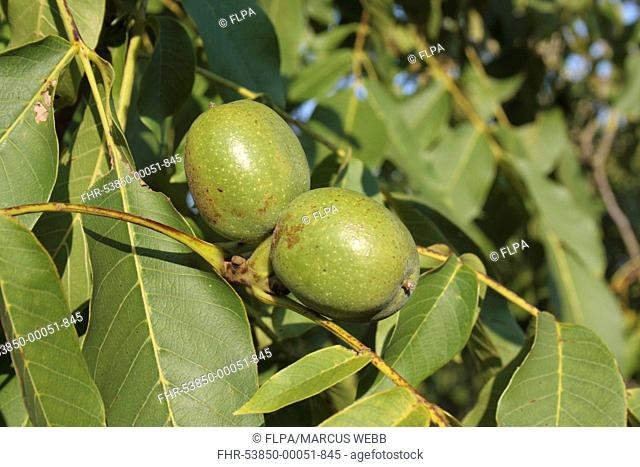 Common Walnut Juglans regia close-up of ripening fruit, Suffolk, England, august