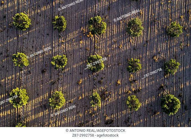 Directly above view of olive field. Almansa. Albacete province. Spain