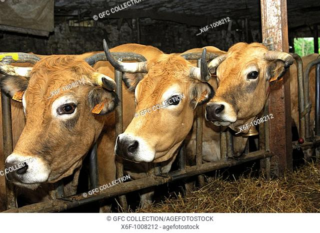 Aubrac cattle in a cowshed, France