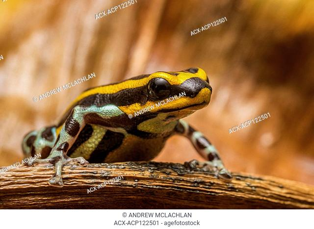 Ranitomeya sirensis - captive bred