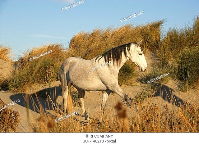 horse lusitano mix - walking in dune