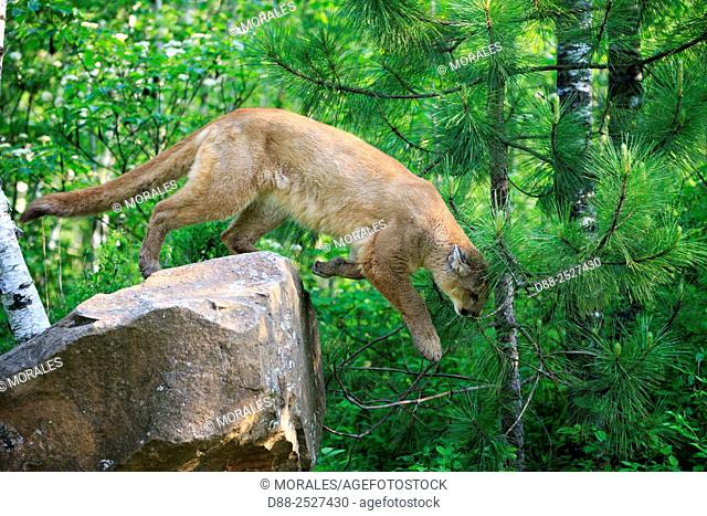 United States, Minnesota, Cougar Puma concolor, also known as the mountain lion, jumping