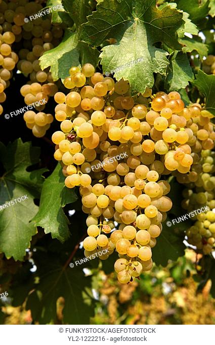 White grapes on the vines in the vineyards of Hajos Hajós Hungary