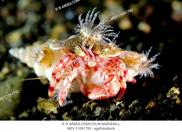 Anemone Hermit Crab with anemones (Calliactis polypus) on shell for camouflage and protection