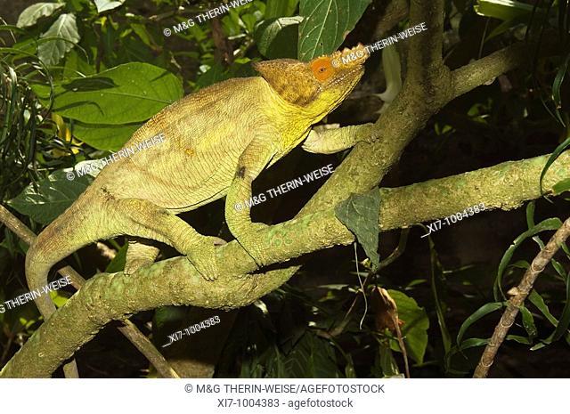 Parson's chameleon Calumma parsonii, Madagascar Caméléon de Parson Calumma parsonii, Madagascar Parson's Chamäleon Calumma parsonii, Madagaskar