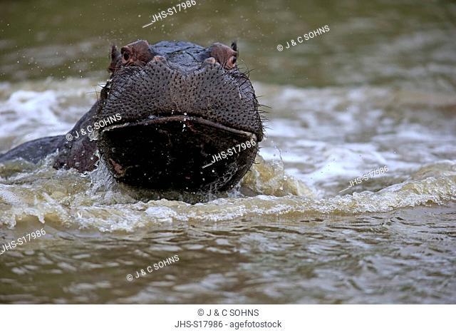 Hippopotamus, (Hippopatamus amphibius), adult in water portrait, Saint Lucia Estuary, Isimangaliso Wetland Park, Kwazulu Natal, South Africa, Africa