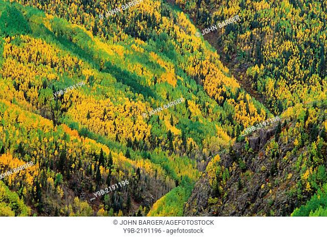 View of autumn aspen groves with seasonal leaves in Lime Creek Valley, San Juan National Forest, southwest Colorado, USA