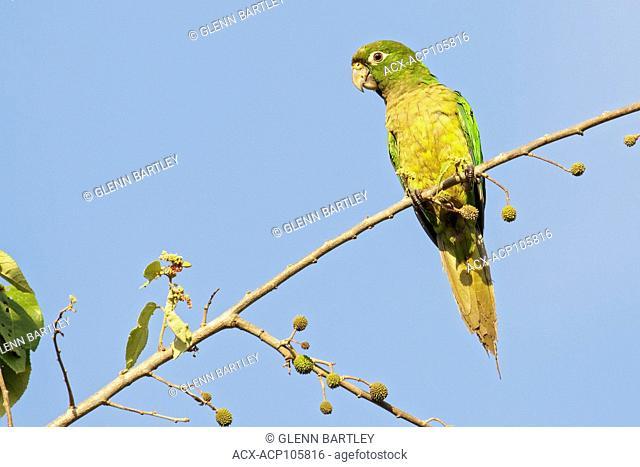 Olive-throated Parakeet (Eupsittula nana) perched on a branch near Cancun on the Yucatan Peninsula of Mexico