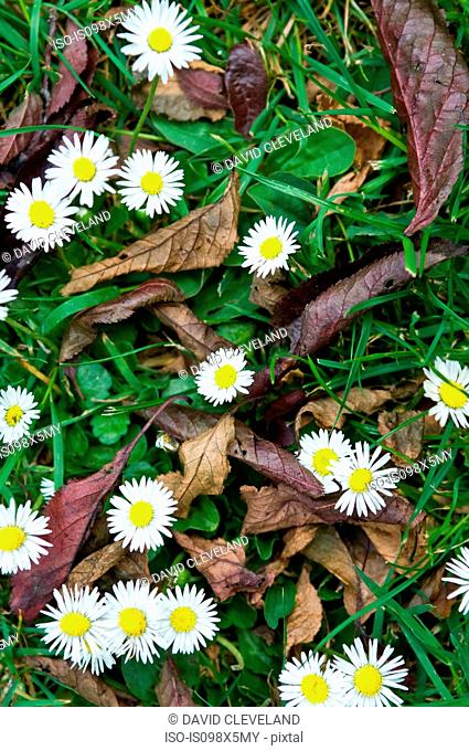 Daisies and leaves in the grass