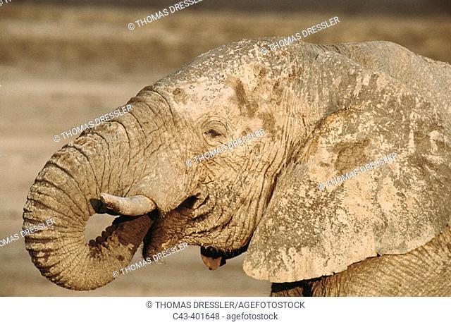 African Elephant (Loxodonta africana), bull drinking. Etosha National Park. Namibia