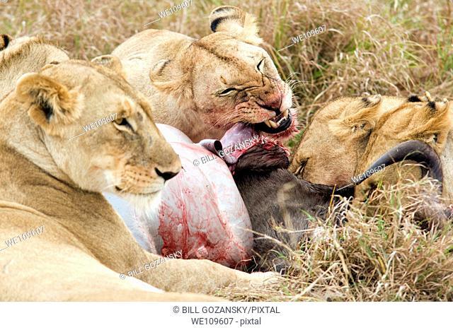 Lions with kill - Masai Mara National Reserve, Kenya