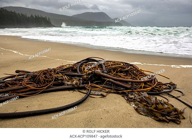 Clump of seaweed on a sandy bay Grant Bay, Vancouver Island, Canada