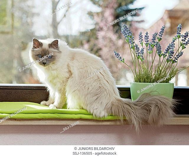 Sacred cat of Burma on windowsill restrictions: Tierratgeber-Bücher / animal guidebooks
