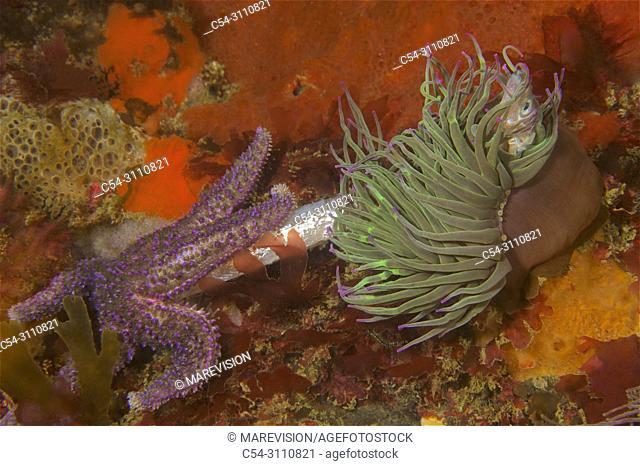 Sea Anemone. Opelet. Snakelocks Anemone (Anemonia viridis) and Common starfish (Asterias rubens) devouring Lesser Sandeel (Ammodytes tobianus)