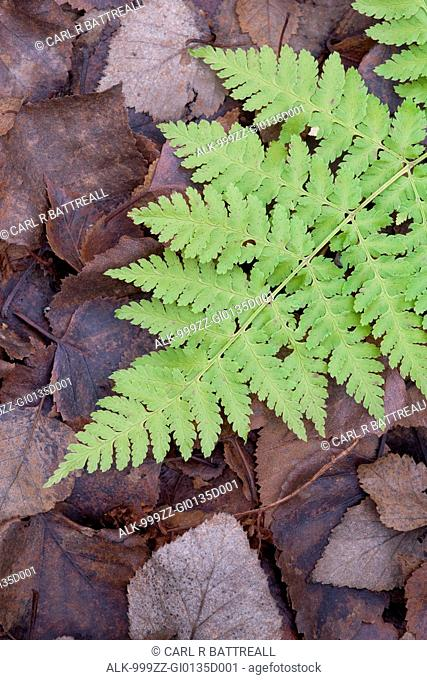 Close up of a fern on top of fallen leaves, Chugach State Park, Southcentral Alaska, Summer
