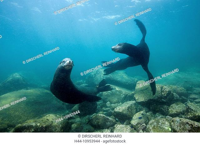 Californian Sea Lion, Zalophus californianus, Cabo Pulmo Marine, National Park, Baja California, Mexico, seals, Californian Sea Lion, Californian Sea Lion