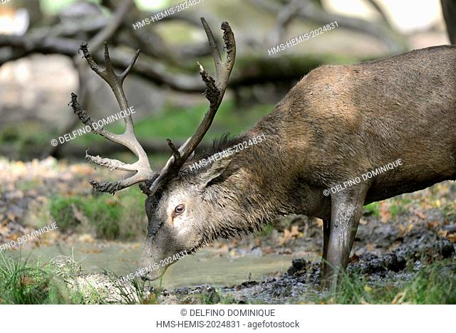 France, Moselle, Animal Park Saint Croix, Rhodes, red deer (Cervus elaphus), male at the time of slab letting off steam in a puddle in the woods