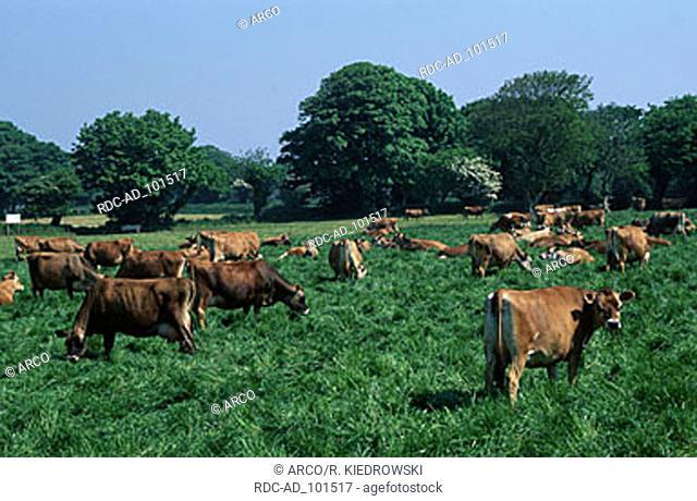 Jersey Cattle Jersey Channel Islands Great Britain