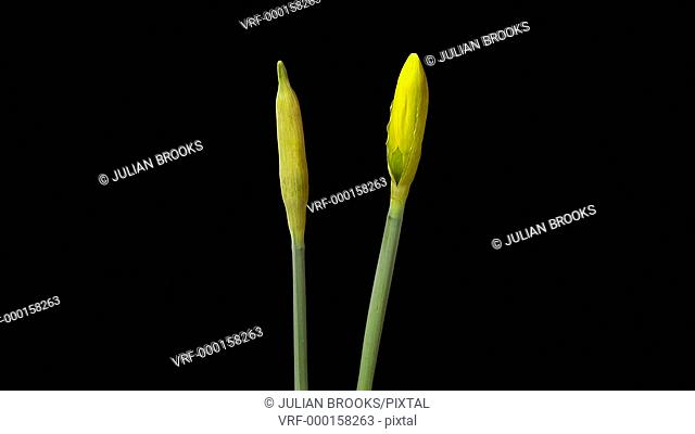 Two daffodis Opening - Time lapse