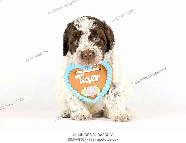 Lagotto Romagnolo. Puppy (5 weeks old) sitting, wearing a gingerbread heart. Studio picture against a white background. Germany