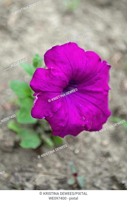 A single purple petunia blooming in harsh surroundings