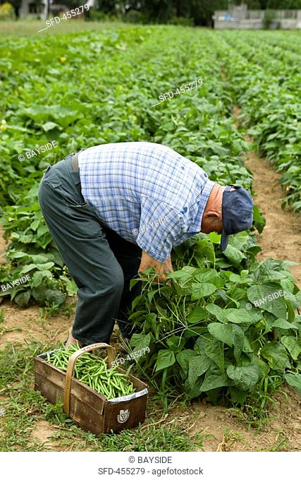 A man picking beans
