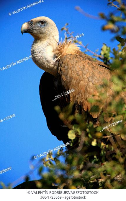 Griffon vulture Gyps fulvus in the National Park Cabañeros