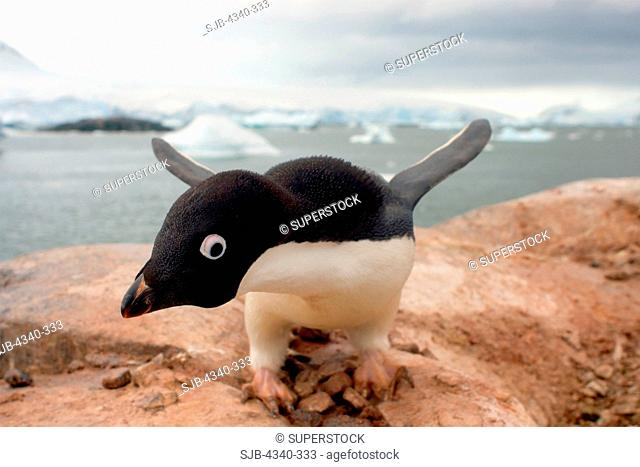 Adelie Penguin Protecting its Nest