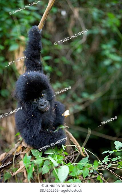 Mountain Gorilla (Gorilla beringei beringei). Playful juvenile hanging on a twig. Volcanoes National Park, Rwanda
